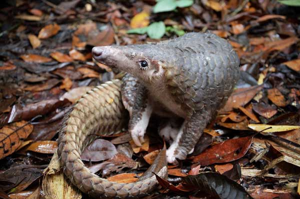 FAVOURITE PREY: A pangolin can easily end up as a dish on the dinner table. It is considered 'clean food' as its main diet is ants.