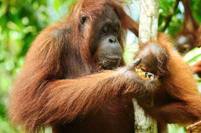PROTECTED: Hunting the orang utan is strictly prohibited in Sarawak.