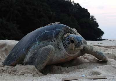 ENDANGERED; A green turtle nesting at Talang Besar. Its eggs are considered an exotic delicacy by many.