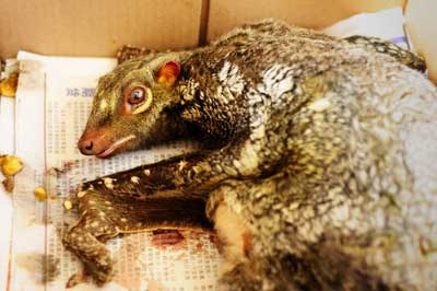 HANDS-OFF: A flying lemur is protected under the Wild Life Protection Ordinance 1998 (Amendment 2003). — Photos courtesy of SFC