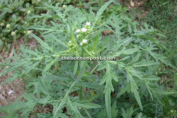 Mexican Weed Also Spotted In Tuaran Sipitang Borneo Post Online