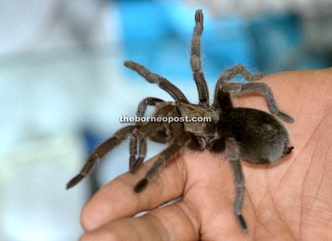 Brazilian Black Tarantula from Brazil.