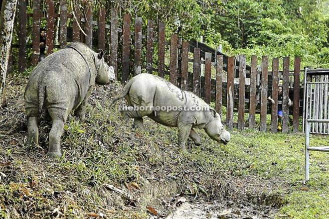 Tam and Puntung at the Borneo Rhino Sanctuary in Tabin Wildlife Reserve, Lahad Datu are among the last surviving Sumatran Rhinos in the country.