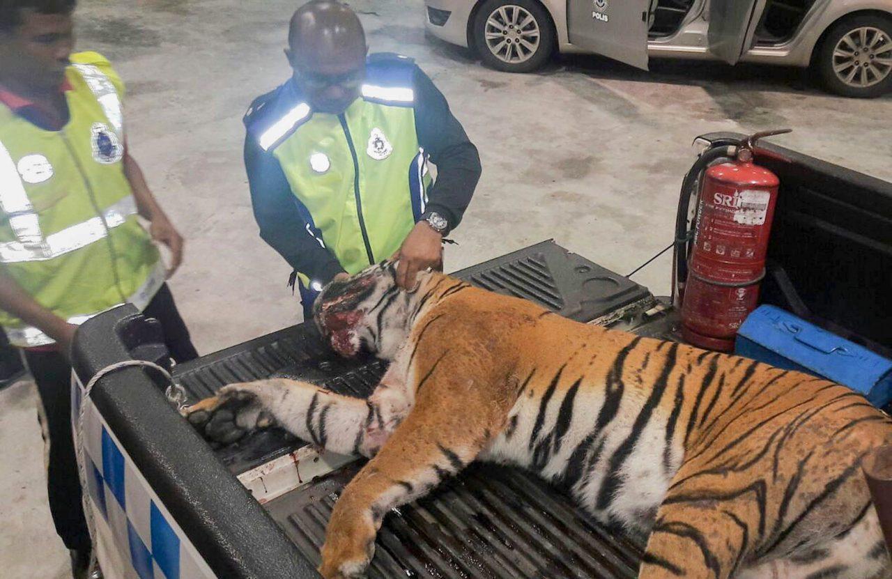 KEMAMAN, 6 Feb -- Anggota polis memeriksa bangkai harimau belang yang mati dirempuh sebuah kenderaan pelbagai guna (MPV) di Kilometer 321.2, Lebuhraya Pantai Timur Fasa 2 menghala ke Kuala Terengganu awal pagi tadi. Kejadian berlaku kira-kira pukul 1 pagi ketika spesies terancam itu dipercayai cuba melintasi lebuh raya sebelum dilanggar MPV yang sedang menghala ke Kuala Terengganu. Bangkai itu akan diserahkan kepada Jabatan Perhilitan negeri untuk tindakan lanjut. -- fotoBERNAMA (2016) HAK CIPTA TERPELIHARA