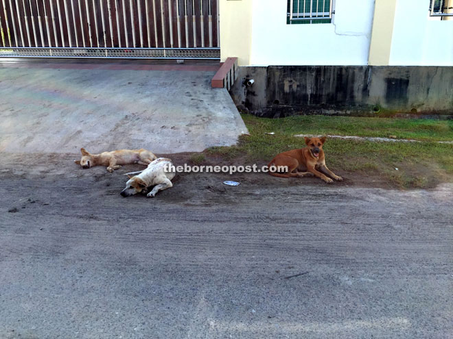 Stray dogs at a housing area. Many areas in Miri have recorded cases of canine distemper.