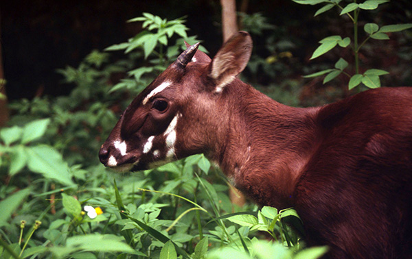 The saola has distinctive white facial and front of neck markings. – Photo by David Hulse (WWF)