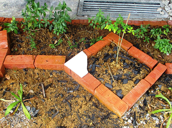 Plants grown using soil enriched with bamboo biochar chips.