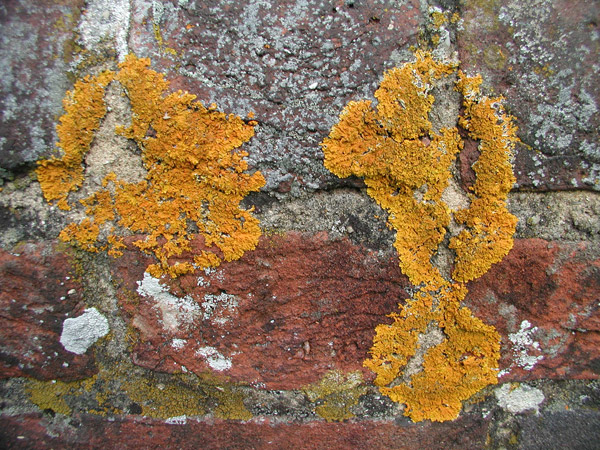 Dating rock surfaces by lichen growth