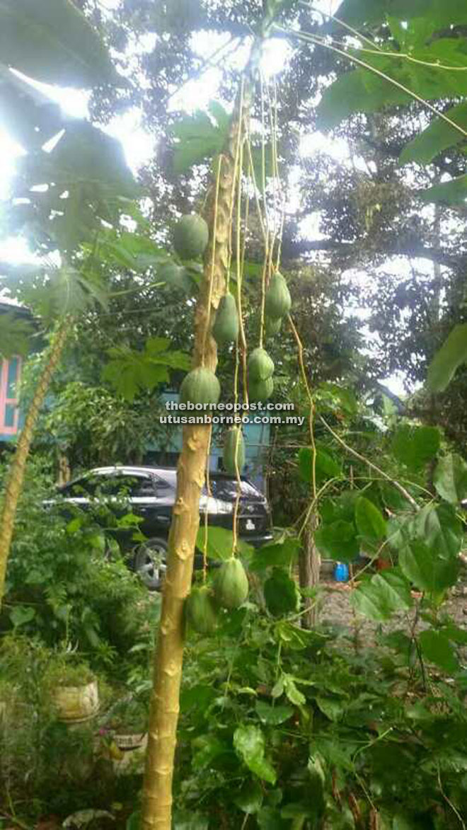 The Papaya Trees That Bear Fruits Hanging From Long Stems