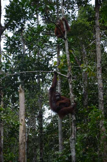 HOT MAMA: Delima, balancing with one arm from a tree branch above the feeding station.