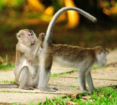 PARK RESIDENTS: The long-tailed macaques can be spotted at Bako National Park.