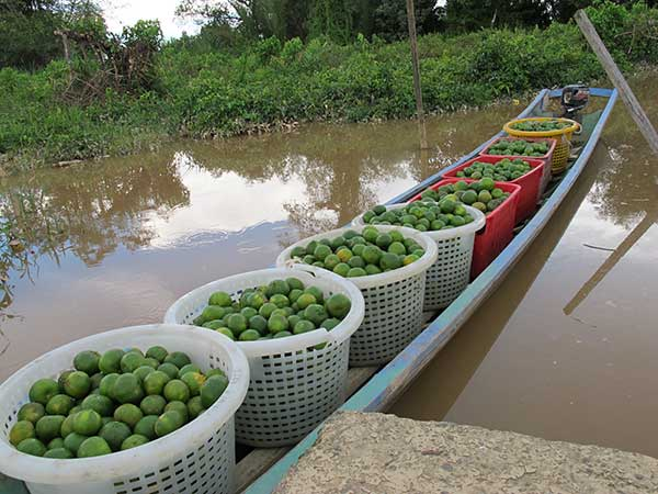 GREEN AND SWEET: Bintangor oranges ferried across the river by a longboat.