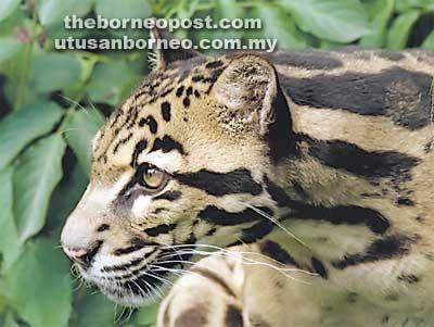 Kucing Hutan Besar Di Gunung Santubong Perlu Dikaji Anthony Borneo Post Online