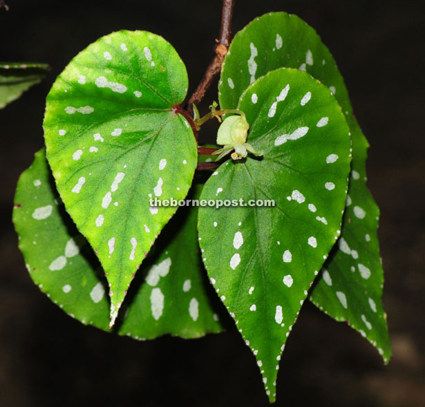 The Begonia roseopunctata has pink spots on its leaves.