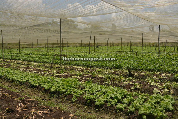 The large vegetable farm covered with protective netting by the roadside around Sungai Bidut area.