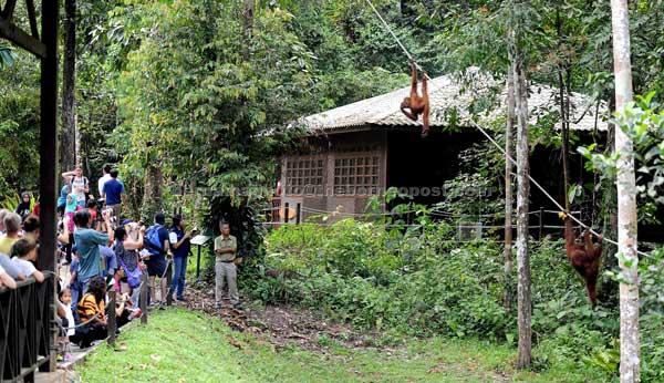 'A Trickle, now deluge.' Visitors watched the behaviour of Orang Utan at Semenggoh Wildlife Rehabilitation centre (PPHLS). — Bernama file photo