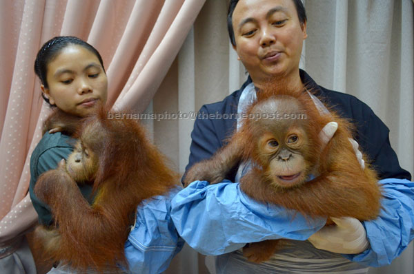 Wildlife department personnel with the two orangutans. — Bernama photo