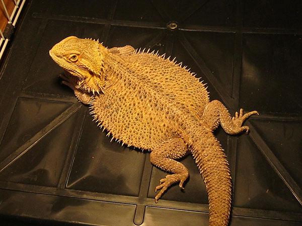 A Bearded Dragon.
