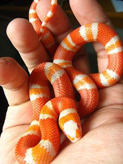 An Albino Tangerine Honduran Milk Snake.