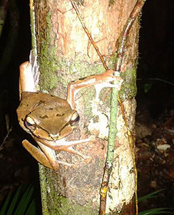 Another species of pacman frog found in Sarawak.