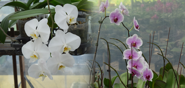 Orchids blooming at 16 degrees Celcius in the cold room and (left) White Borneo Orchids.