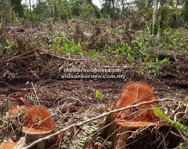 DISYAKI: Kira-kira 800 batang kayu disyaki masih tertinggal di dalam tanah di kawasan Kampung Igan, semalam.