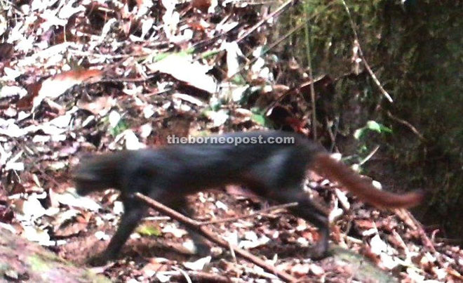 The black bay cat recorded by SFD.