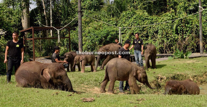 Rescued elephant calves in Sepilok Wildlife Medical Care Center having an afternoon walk together with the care keeper