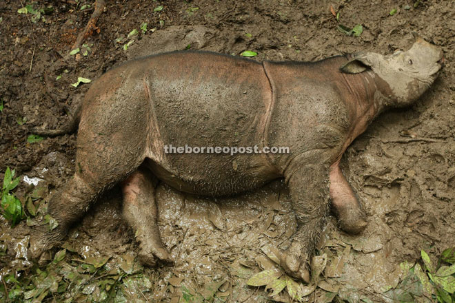 The potential fate of wild Sumatran rhinos - a foot damaged or even removed by a snare trap. Malaysia's Puntung was lucky because she was damaged as a baby and survives to this day under the care of Borneo Rhino Alliance.