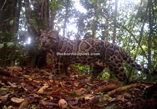 Sunda clouded leopard (Neofelis diardi).