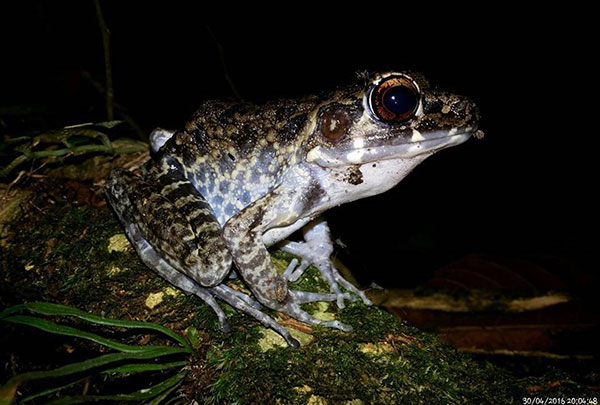 Rarest Amphibian Photographed & Best Photo (Mobile Phone) Rough-sided Frog (Pulchrana grandulosa) by Hamir Kiprawi.