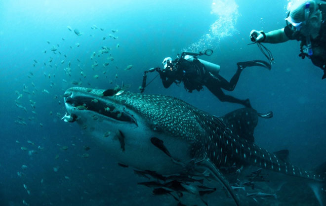 Lee (white cap) and his dive buddy excitedly photographing whale shark and cobia (rare fish around the whale shark) — Photo credits to Clement Lee, Ross Kelly and Chris Hii