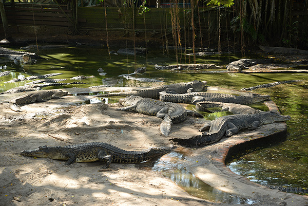 Proper safety measures for the public to view the crocodiles. These are among the crocodiles at the farm.
