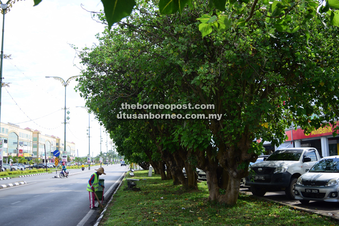 A row of Bodhi trees lining up a road in Sarikei.