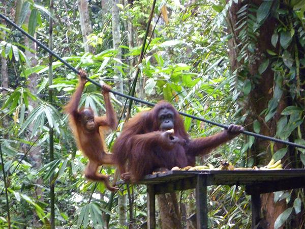 Seduku and her offspring.