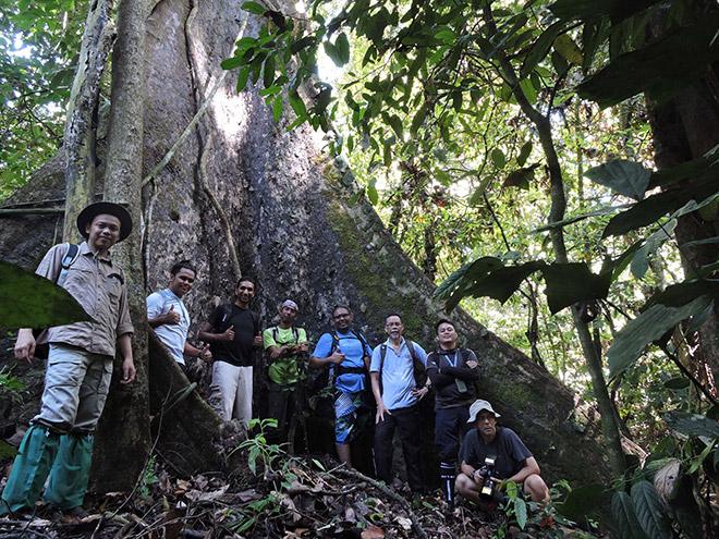 NATURE ATTRACTION:  A big tree of Shorea johorensis species estimated to be 80-100 years at the vicinity of Kawag Danum Rainforest Lodge in Lahad Datu.- Bernama pic