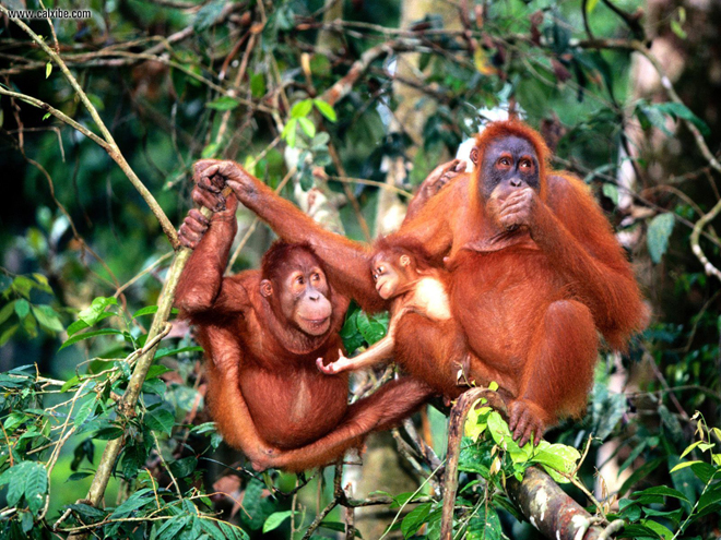 All orangutan habitats in Sarawak are protected by law. – File photo