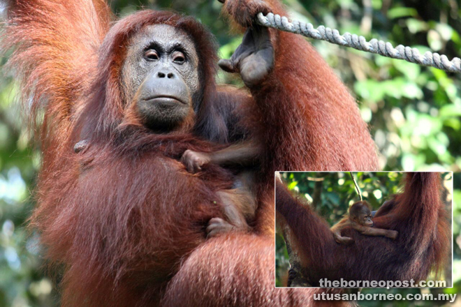 A protective Analisa clings closely to her new baby. ( Inset) The new baby orangutan makes its debut at the Semenggoh feeding platform.