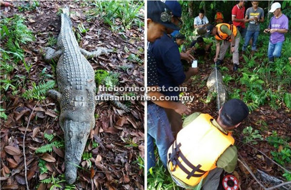 The 2.8-metre-long crocodile snared from Sungai Oya.