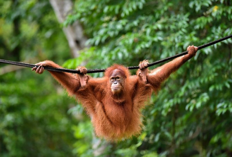 Indonesia pet orangutans released back into the wild ...